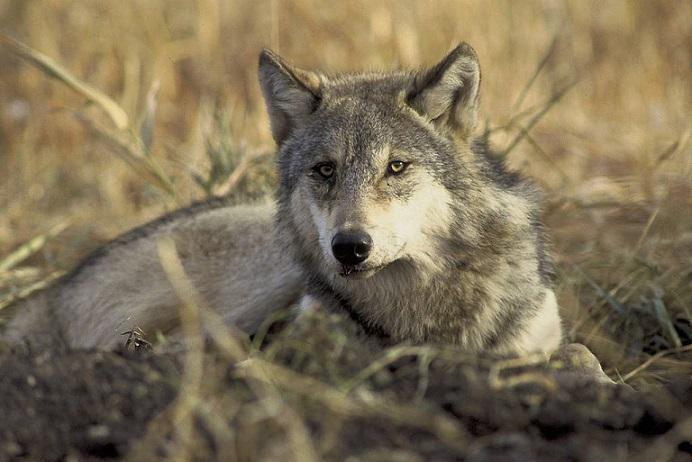 Gray_Wolf_USFWS