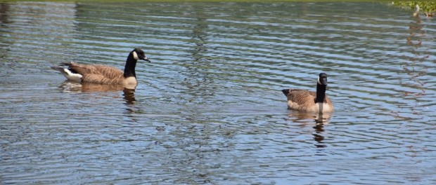 Canada Geese by G. Sanders