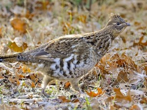 Ruffed Grouse by Out of Doors Mag