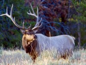 Elk by Yellowstone Park
