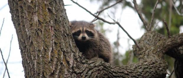Raccoon by Squash Blossom Farm