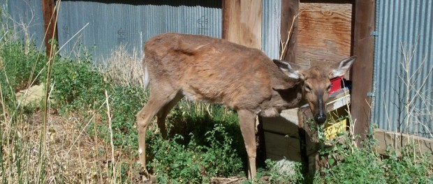 CWD Deer, photo by Dr. Terry Kreeger, Wyoming Game and Fish Department