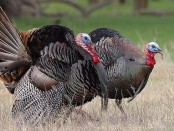 Wild Turkey by In The Wild With Wags