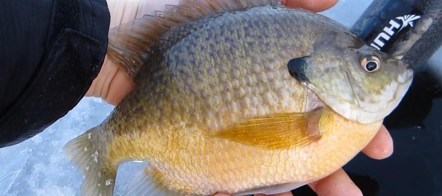 Free Fishing Weekend, Bluegill by YouTube PeelinDrag