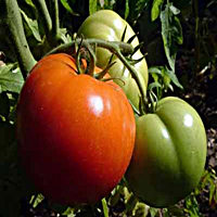 Welcome To Growing Tomatoes