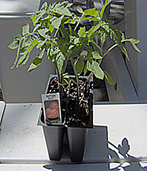 How To Choose Tomato Plant Seedlings
