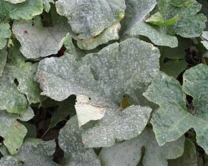 powdery mildew cucumbers