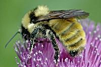 bee_pollen