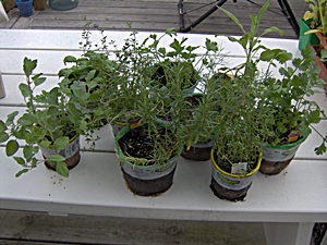 Select All the Herbs Needed for the Container Herb Garden