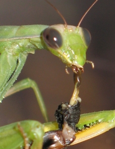 Praying Mantis Eating an Insect