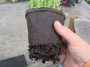 Tear Bottom Off Peat Pot