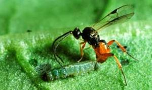 Parasitic Wasp On a Caterpillar
