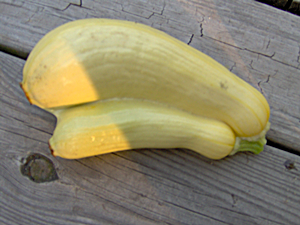 Ever Seen a Yellow Summer Squash Like This