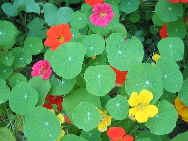 Add Edible Flowers to the Vegetable Garden