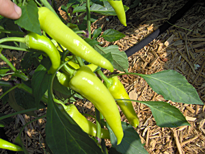 How To Pick Banana Peppers