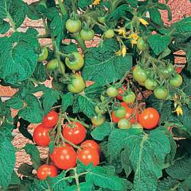 The Totem F1 tomato plant is a determinate variety