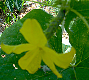 How To Hand Pollinate Cucumbers