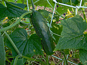How and When To Pick Cucumbers