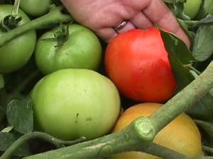 Harvesting a Ripe Tomato