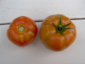 The First Two Tomatoes of 2009