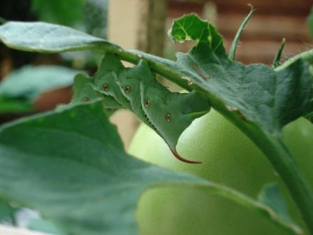 Tips for Getting Rid of Tomato Hornworms