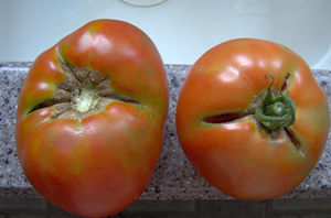 What Causes a Tomato To Crack or Split