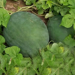 12 Common Drought Tolerant Vegetables