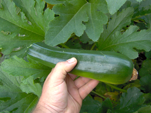 How and When To Pick Zucchini