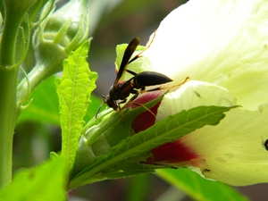 wasp_okra_bloom_8_15