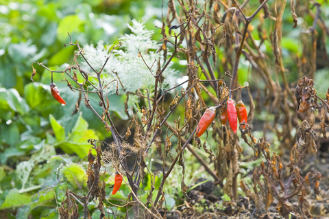 Common Vegetable Gardening Mistakes