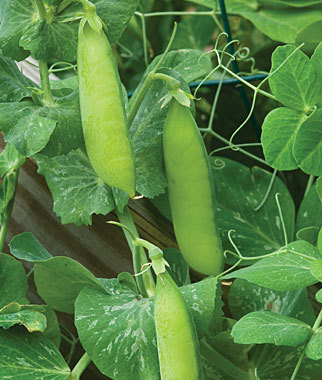 Boost Production of Peas By Using an Inoculant