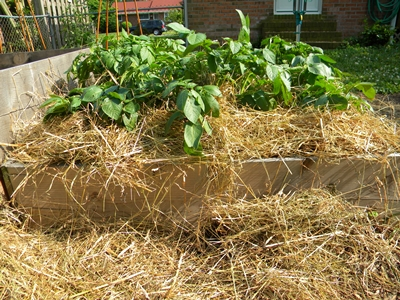 How To Hill Potatoes In a Raised Bed