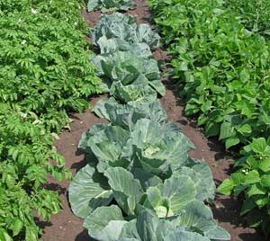 Add Crop Rotation To Your Vegetable Garden Plan