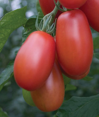 The 10 Best Tomatoes for Pastes & Sauces