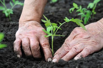 5 Tips for Transplanting Vegetable Seedlings