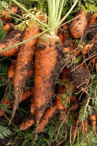 Carrots grown from seed in home garden