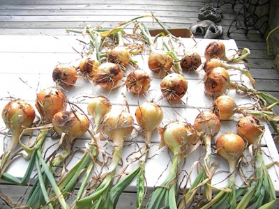 How to Harvest and Cure Onions