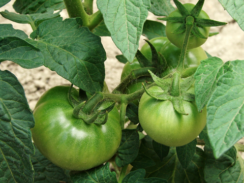 How to Make Green Tomatoes Ripen Faster