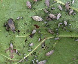 sbugs