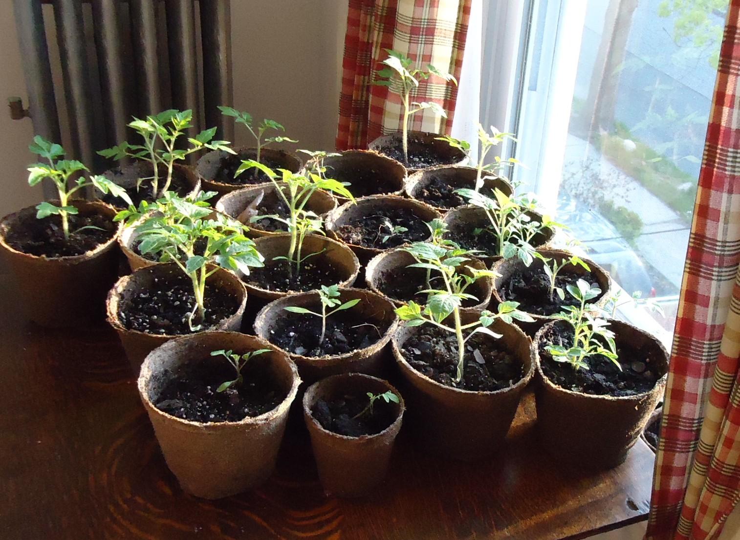Tomato_plants_grown_from_seeds_near_window