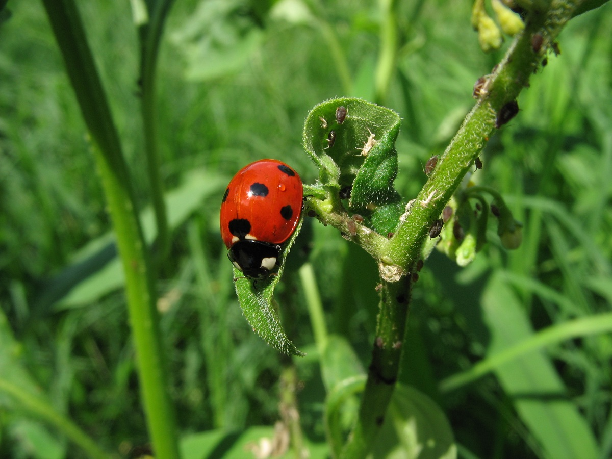 Introducing ladybugs into your garden is a great way to keep plants safe, as ladybugs will eat other insects like aphids.