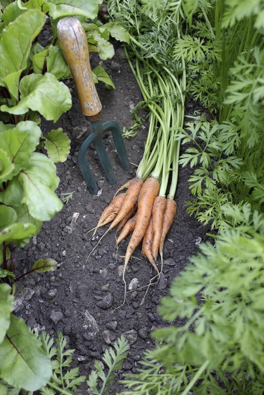 Easy carrot gardening