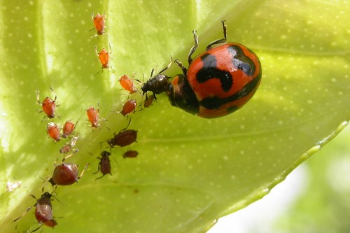ladybug eating garden pests