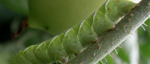 Tomato Horn Worm