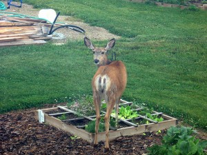 Deer Feeding in Garden