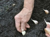 Planting Garlic by Off the Grid News
