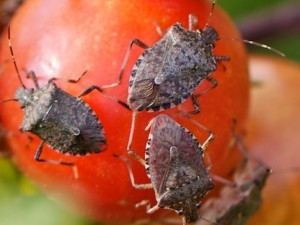 Stinkbugs by MacGardens