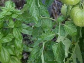 Basil and Tomatoes by Mystical Magical Herbs