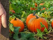 Growing Pumpkins by Hub Pages and Sustainable Gardening
