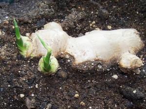 Growing Ginger by Gardening Jones